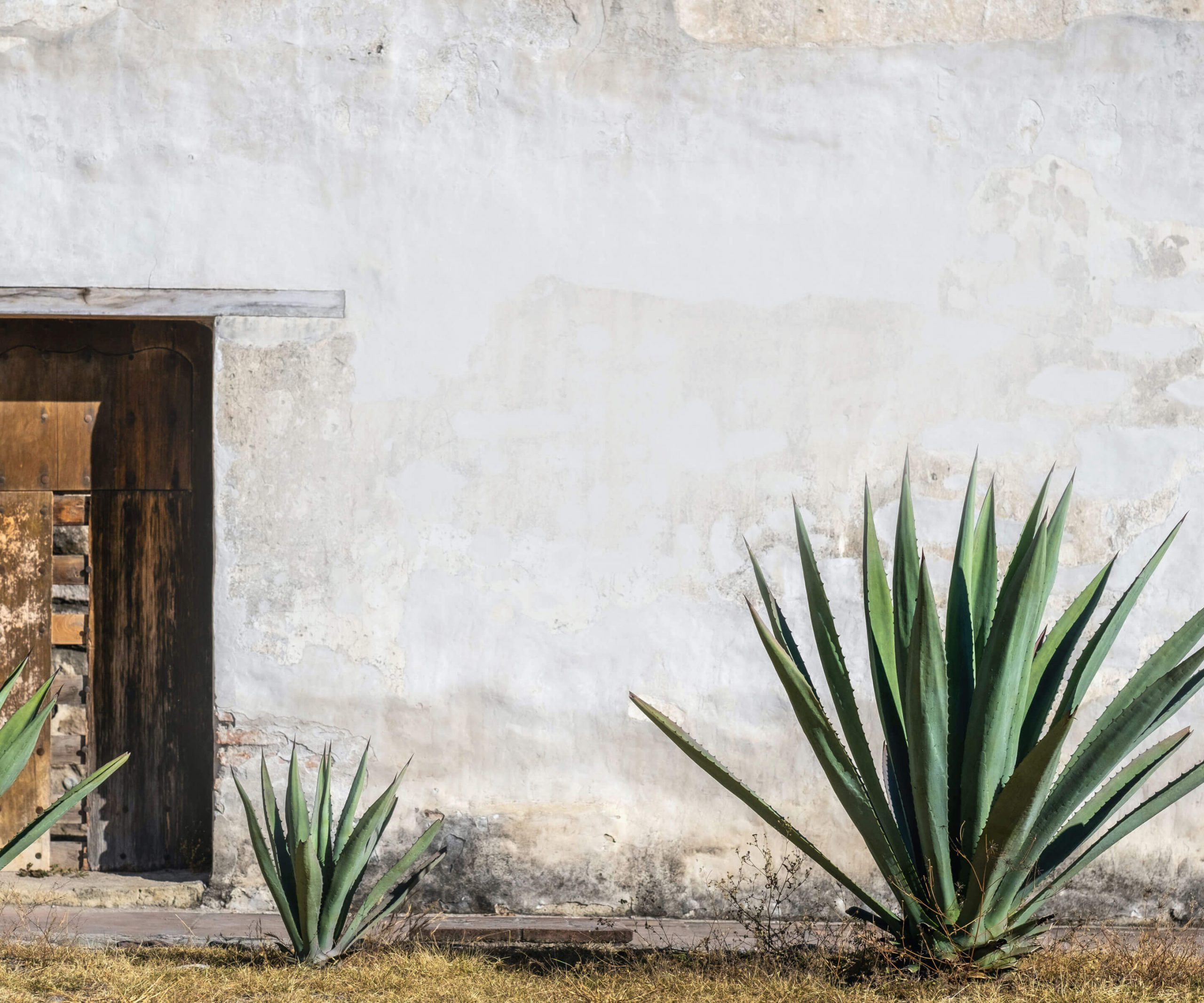 adobe wall with agave in pénjamo, guanajuato, mexico
