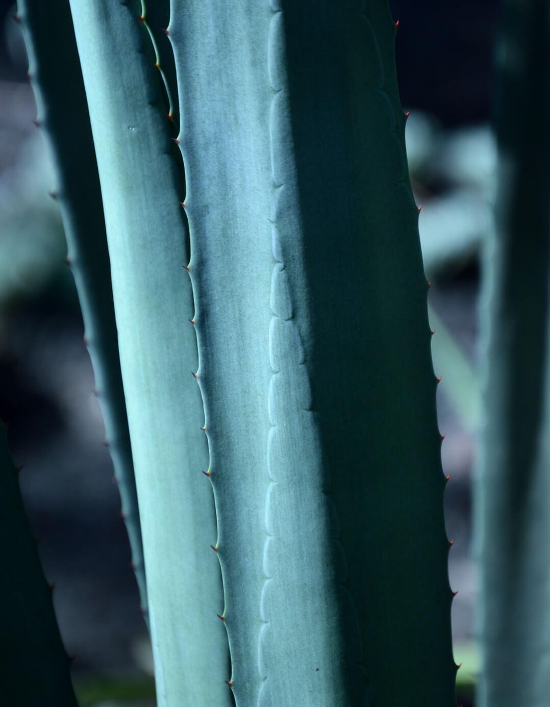 los arango tequila blue weber agave closeup