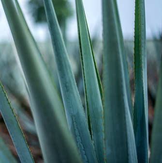 los arango tequila blue weber agave