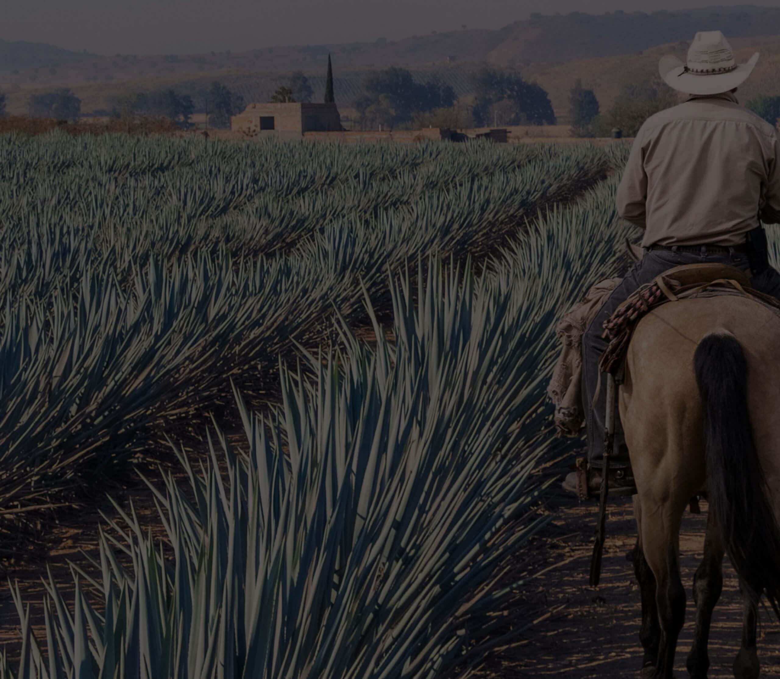 los arango tequila jimador in blue weber estate agave field